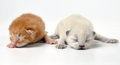 Newborn kittens two cute little moving studio sot Stock Photos