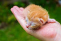 Newborn kitty in hand. New born baby cat. Red kitty in caring hands Royalty Free Stock Photo