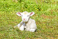 Newborn lamb in the meadow Stock Photos