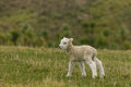 Newborn lamb standing on grass Royalty Free Stock Photo