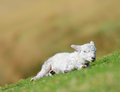 Newborn lamb welsh warming in sun on hillside Stock Photo