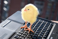 Newborn little chicken laptop Royalty Free Stock Image