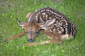 Newborn mule deer fawn or blacktail resting in grass Stock Image