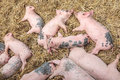 Newborn pigs sleeping on hay Royalty Free Stock Photography