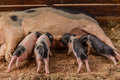 Newborn pigs are trying to suckle from its mother pig. Royalty Free Stock Photo