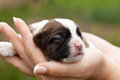 Newborn puppy dog in woman hands resting closeup Royalty Free Stock Photography