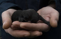 Newborn puppy in the hands of men. Baby dog lying in the palm of Royalty Free Stock Photo