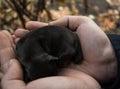 Newborn puppy in human hands. Sleeping dog baby. Royalty Free Stock Photo