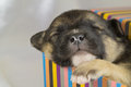 Newborn puppy sleeps Royalty Free Stock Photography