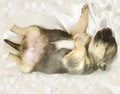 Newborn puppy sleeps Stock Photo