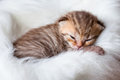 Newborn sleeping baby cat Stock Image