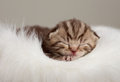 Newborn sleeping british baby cat Royalty Free Stock Photography