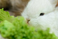 Newborn white rabbit little eating lettuce close up portrait Royalty Free Stock Photography