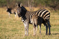 Newborn zebra foal Stock Photography