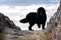 Newfoundland dog beautiful black on a rock in backlight Stock Photos