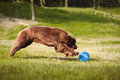 Newfoundland dog catching the frisbee a big brown disc Stock Image