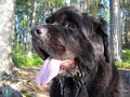Newfoundland dog outdoors