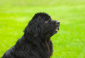Newfoundland dog in profile the garden Royalty Free Stock Image