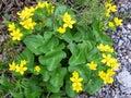 Newfoundland Marsh Marigold flowers 2016 Royalty Free Stock Photo