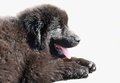 Newfoundland puppy black in front of white background Royalty Free Stock Image