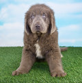 Newfoundland puppy a sitting in the grass with a blue sky behind him Royalty Free Stock Photos