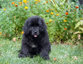 Newfoundland puppy sitting on grass in park Stock Photography
