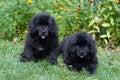 Newfoundland puppy Royalty Free Stock Photo