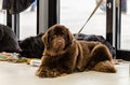 Newfoundland terriers аt the dog show Stock Photo