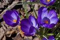 Newly blooming crocus flowers ground Royalty Free Stock Image
