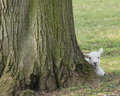 Newly born lamb a at the base of a large tree Royalty Free Stock Image