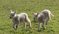Newly born lambs two running in a meadow Stock Photos