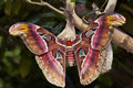 Newly Emerged Atlas Moth  Stock Photography