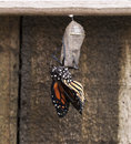 Newly emerged monarch butterfly on clear chrysalis with semi straightened wings is hanging from the Stock Photos