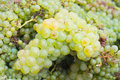 Newly harvested grapes white in a box Royalty Free Stock Image