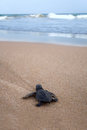 Newly hatched baby loggerhead turtle t toward the ocean Royalty Free Stock Photography