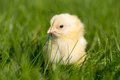 Newly hatched chick on a green grass selective focus copy space Royalty Free Stock Photography