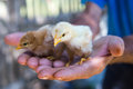 Newly hatched chicks farmer displays in his rough palms Stock Image