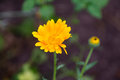 Newly opened yellow wildflower in the garden Royalty Free Stock Photo