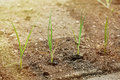 Newly planted leek seedlings in freshly ploughed garden Royalty Free Stock Photo