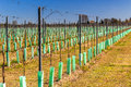 Newly planted orchards organized into rows Royalty Free Stock Photo