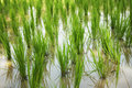 Newly planted paddy field Stock Photos