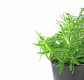 Newly planted rosemary on pot on white background Stock Photo