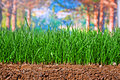 Newly sown grass seed showing roots in the soil earth Stock Photo