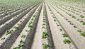 Newly sown potato plantlets in long converging lines Royalty Free Stock Photo
