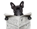 Newspaper bulldog black french reading a big Royalty Free Stock Photos