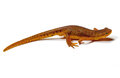 Newt Royalty Free Stock Photo
