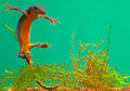 Newt amphibian swimming under water Royalty Free Stock Photo