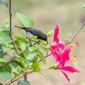 Newton`s sunbird, male, beautiful bird Royalty Free Stock Photo