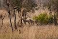 Cheetah cubs Royalty Free Stock Photo