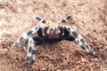 Ngandu chromatus tarantula in terrarium background Royalty Free Stock Image